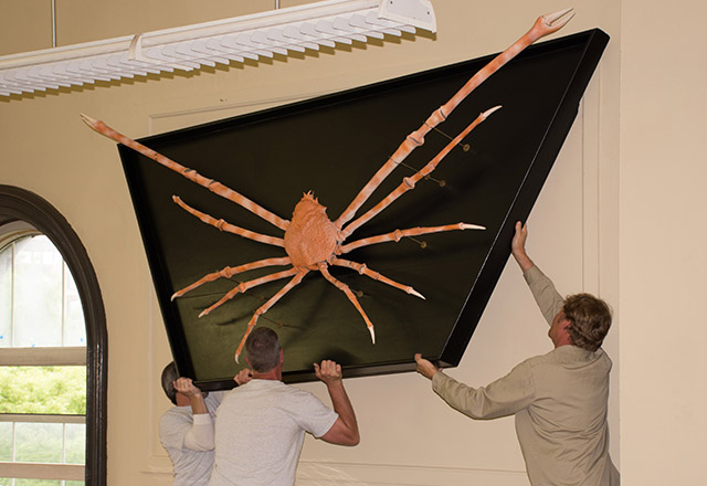 lightbox-spotlight-rutgers-geology-museum-giant-spider-crab-returns-to-museum
